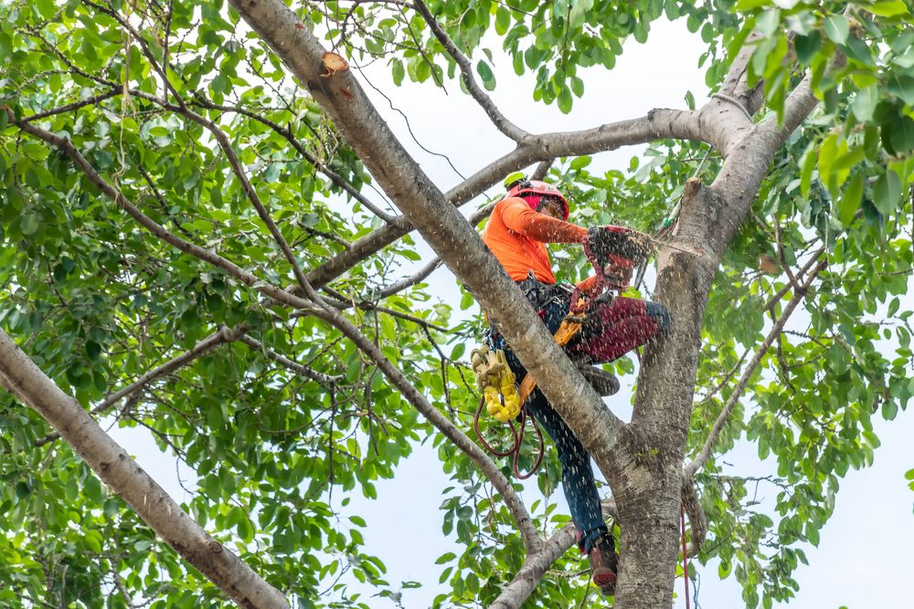 an arborist working in a tree to trim the weak branches